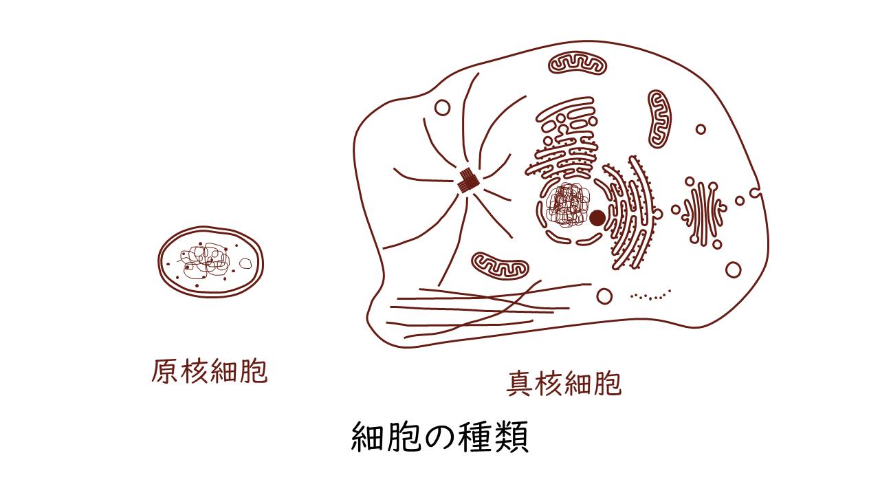 細胞 なる 生物 から 原核