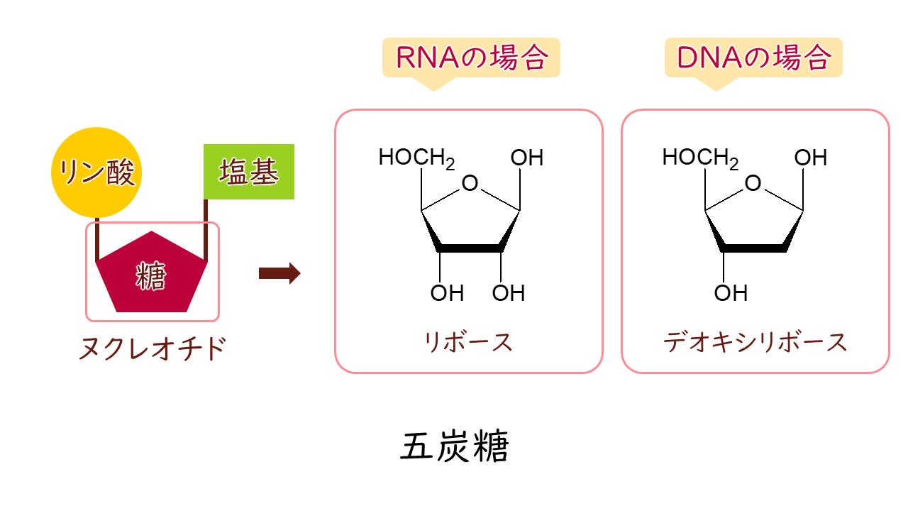 核酸 デオキシリボ